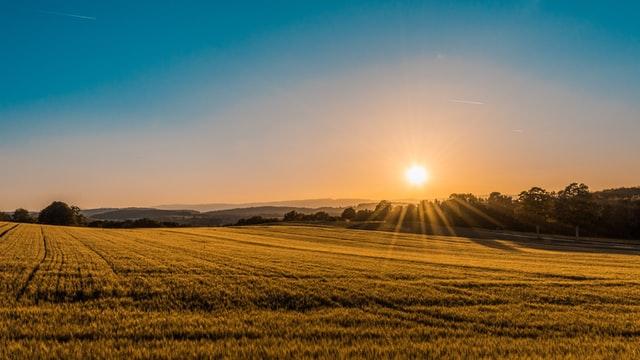 Jak usuwać chwasty z upraw kukurydzy?